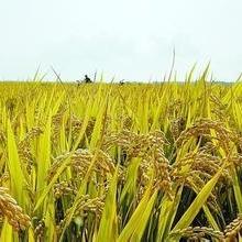 供应辽宁东港优质水稻