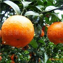 供应优质正宗四会德庆果园种植沙糖桔市场批发价格服务