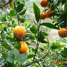 供应优质正宗四会德庆果园种植砂糖橘市场批发价格服务