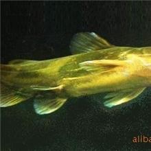 供应自繁优质黄颡鱼鱼种