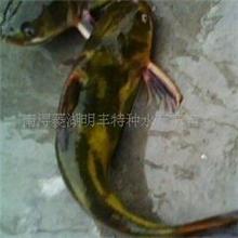 供应:体长2.5cm适合全国各地养殖的黄颡鱼苗