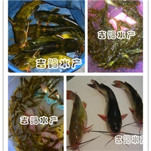 【吉鲳水产】批发优质全雄黄颡鱼鱼苗